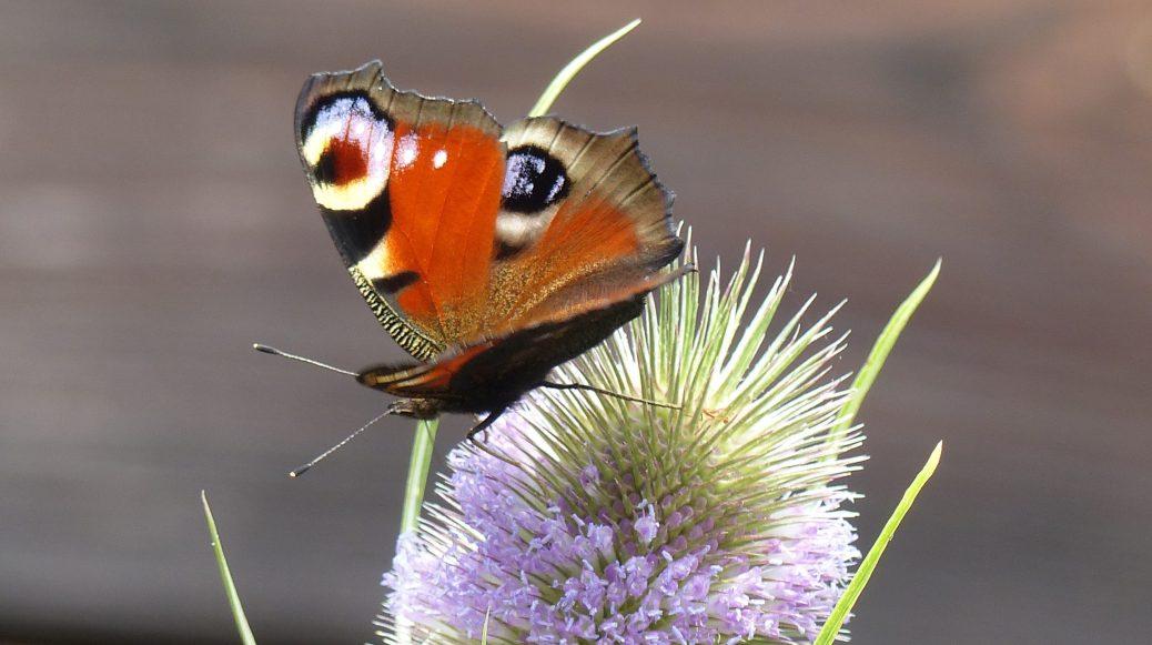 Schmetterling und Karde