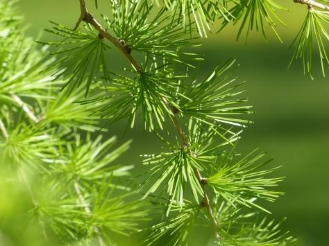 Das frische Grün der Lärche