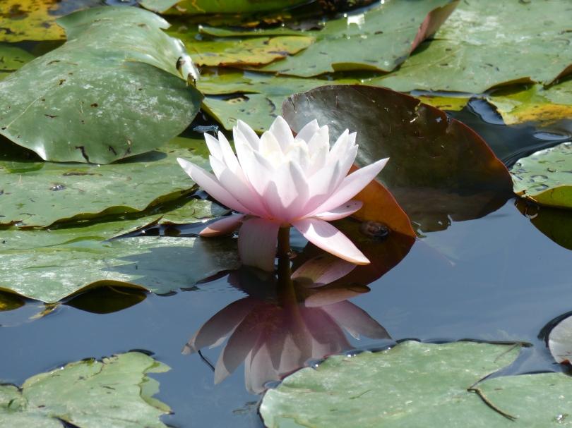 Seerose Spiegelbild