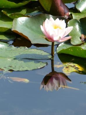 Seerose spiegel sich im Wasser